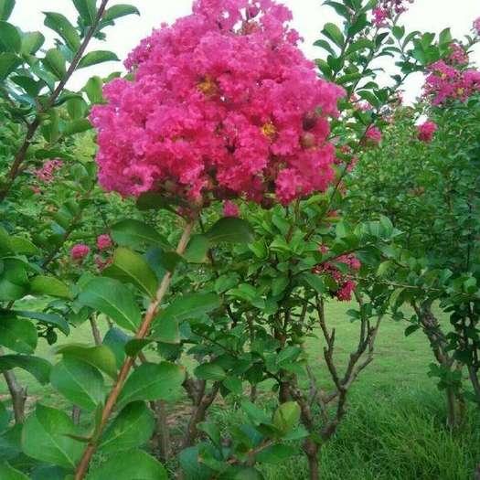 營口蓋州市紫薇樹 保真,假一賠十。