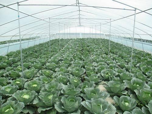 聊城东昌府区西芹 大量现货供应各类蔬菜