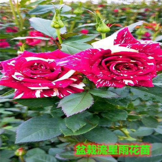 昆明呈贡区 四季玫瑰切花月季玫瑰苗大花月季好成活
