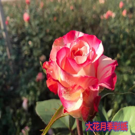 昆明呈贡区 玫瑰苗大花品种四季开花好种植