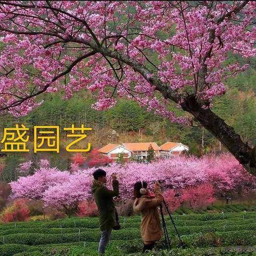 容縣 廣州櫻花