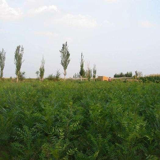 赤峰巴林左旗文冠果树苗 出售3万株2年龄树苗