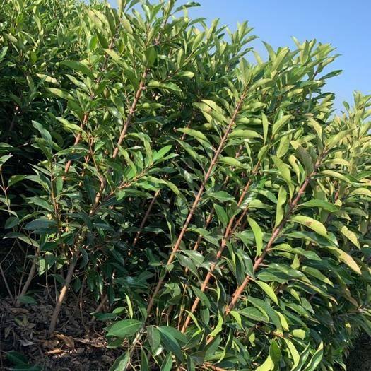 長沙瀏陽市 法國冬青,早禾樹,籬笆植物