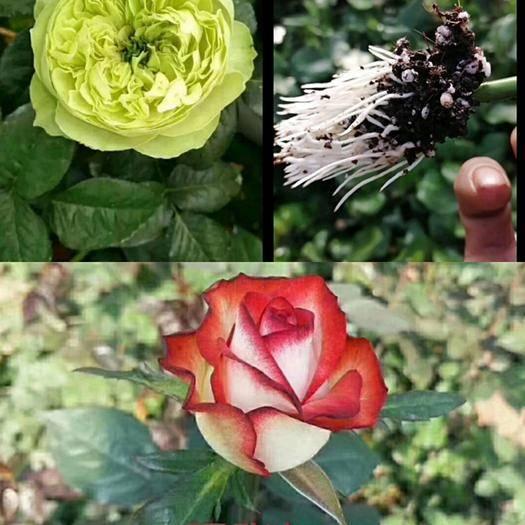 昆明呈貢區 玫瑰花苗,月季花苗,