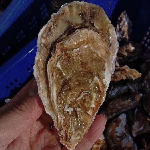 威海乳山市山东乳山牡蛎 乳山生蚝 产地直发