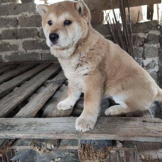贺州昭平县 广西土猎,纯正中华田园犬