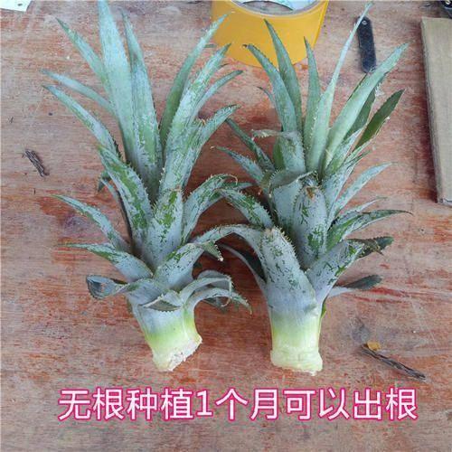 湛江麻章区 四季都可供应新鲜神湾菠萝苗  地菠萝苗新鲜 无根系 菠萝苗