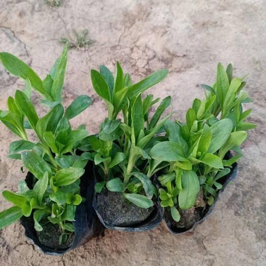 潍坊青州市美国石竹种子 美国石竹,常年销售各种绿化苗木。