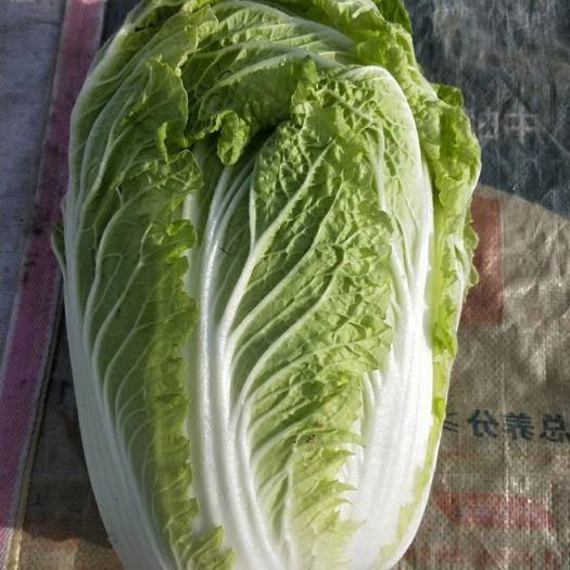 聊城 山东聊城冷棚菊锦黄心白菜大量供应中,质量好,供货量大,