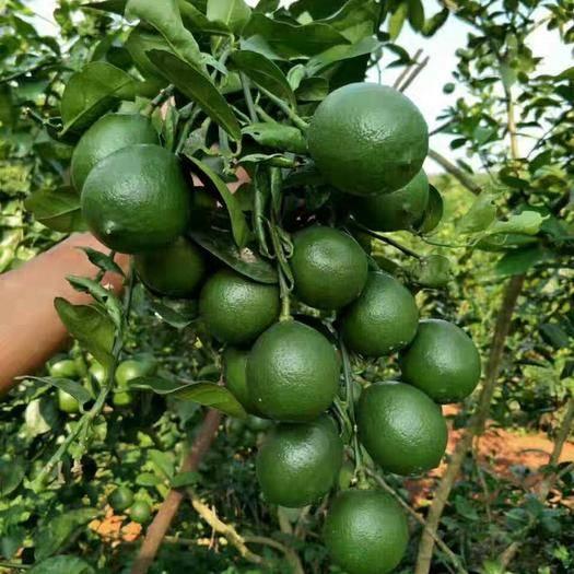 海口琼山区 青柠檬,基地直供