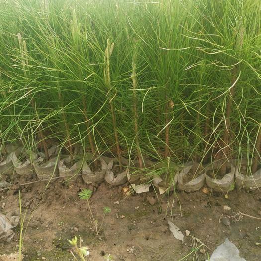 含山县湿地松树苗 湿地松容器苗