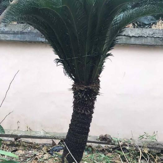 上饒鄱陽縣羊角鐵樹 有兩顆大鐵樹要賣,栽了二十多年,高1米多,地址在江西鄱陽,