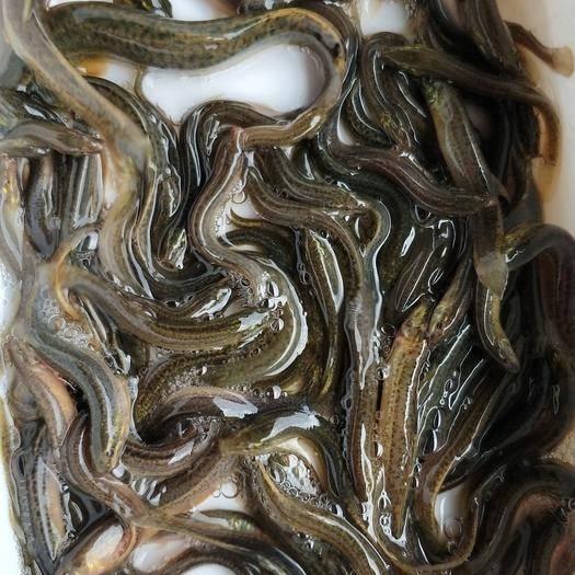 白银平川区 台湾泥鳅苗