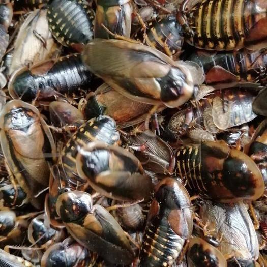 廣州花都區杜比亞蟑螂 杜比亞,高檔寵物的活餌