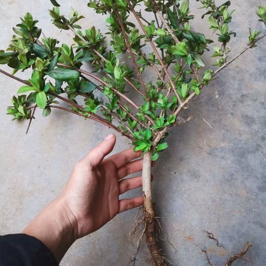 平邑縣 金銀花苗 優質盆栽地栽金銀花樹苗 多品種 可造型