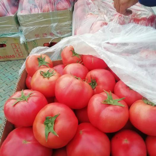 滑縣 日光溫室大棚硬粉弧三西紅柿大量上市
