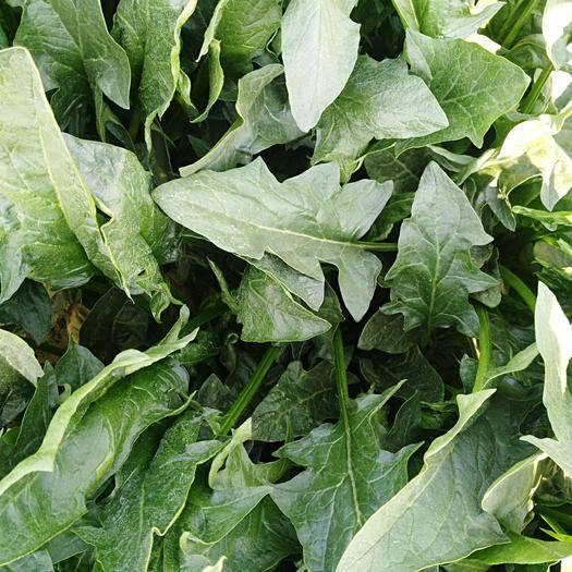 菏泽成武县 优质菠菜大量有现货,适合工厂加工,价格美丽