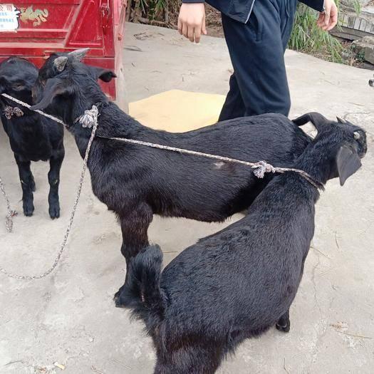 成都金堂縣 金堂努比亞黑山羊疫情期間遠程視頻選羊一律送貨到家!