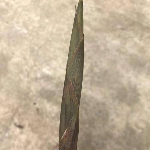 十堰房縣鮮竹蓀 鮮竹筍,小竹筍