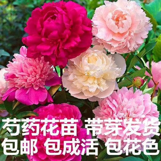 臨沂平邑縣 觀光芍藥 層次多 花朵大 品種多 量多優惠 現挖苗