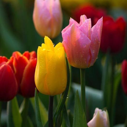 宿迁 进口郁金香种球大球观赏花海植物盆栽花苗多年生球根耐寒花卉带芽
