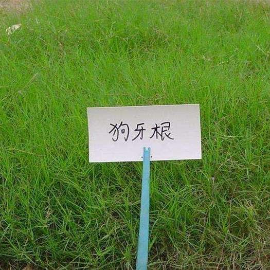 宿迁沭阳县狗牙根种子 草坪种子