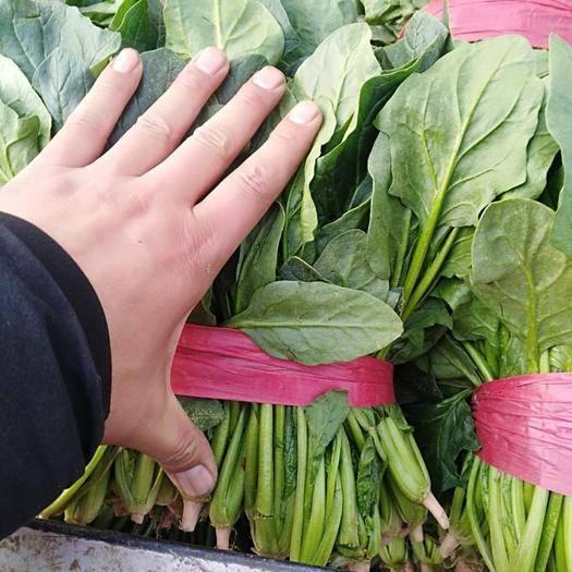 济宁金乡县 万亩菠菜基地大量供应天天有货代发全国各地大市场