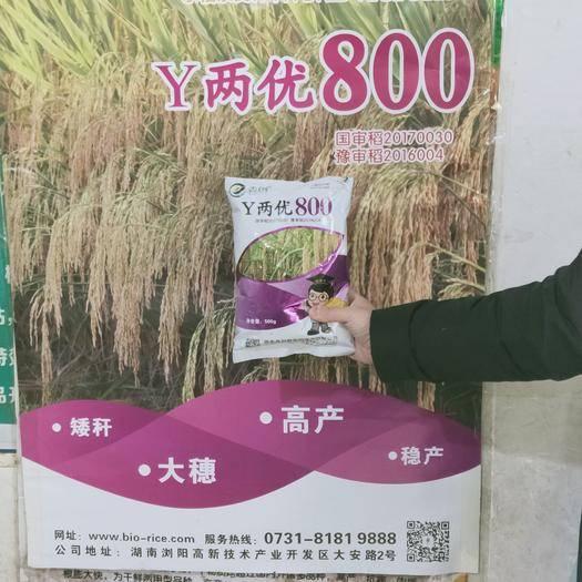 邵阳北塔区y两优900水稻种子 y两优800袁隆平四期超级杂交水稻籼粳稻种子实验田产1000