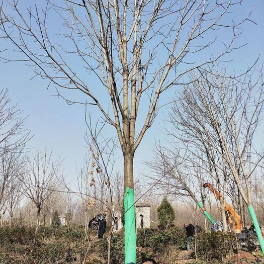 西安周至縣 低價出售各種規格七葉樹陜西貨源