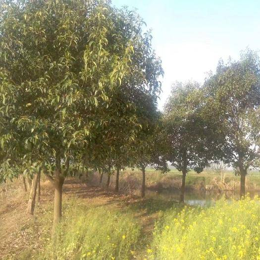 襄樊棗陽市 冬青樹1米2胸徑12~16公分便宜出售!