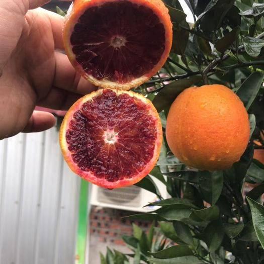 成都金堂县塔罗科血橙苗 ,基地直供,全国包邮,免费提供技术指导