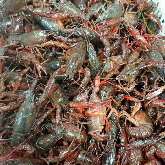荊州荊州區 湖北荊州優質小龍蝦