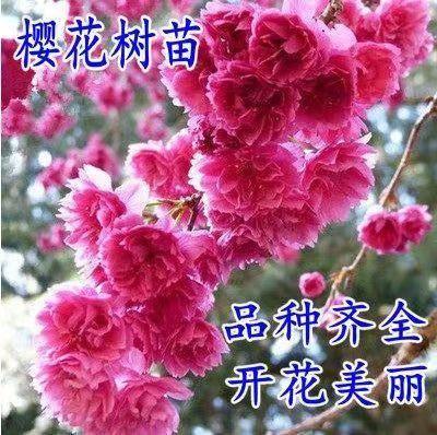 临沂平邑县 【买十送一 】正宗日本樱花 品种全 优质嫁接苗 现挖保湿发货