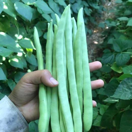 攀枝花米易县 攀枝花市米易自家种植有机四季豆,量大从优,可代办