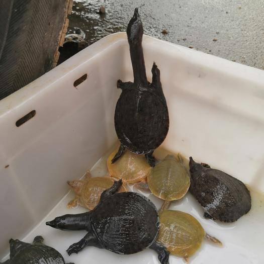抚州南丰县生态甲鱼苗 各种宠物龟甲礼盒,适合家里养,聚财聚福健康长寿