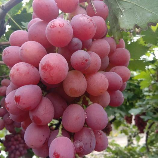 石家庄晋州市美国红提 1.5- 2斤 5%以下 1次果
