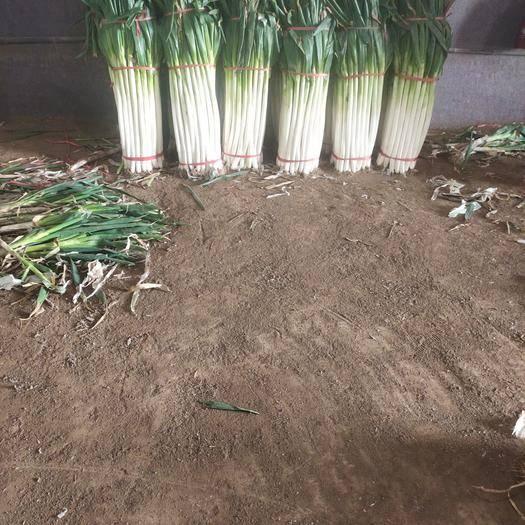 济南章丘区铁杆大葱 50cm以上 净葱