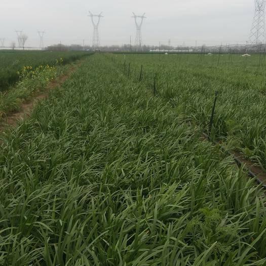 周口项城市 优良品种韭菜种子出芽率高产量高抗病抗汗每年亩产量高达3万斤