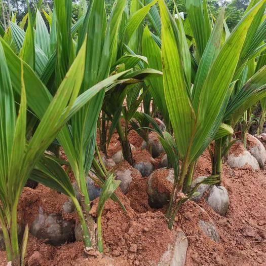 欽州靈山縣 正宗泰國金椰苗矮稈金椰子苗泰國金椰子小苗