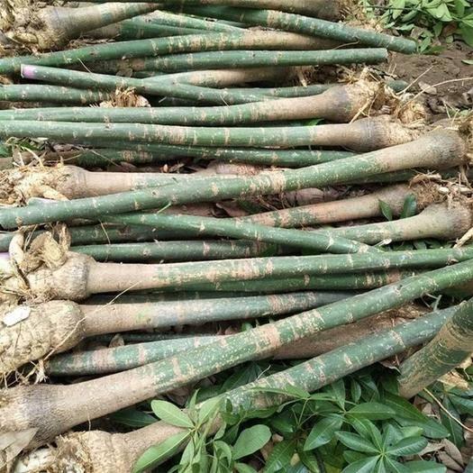 湛江麻章區 基地直供大量發財樹,歡迎各位有需求的朋友們前來選購
