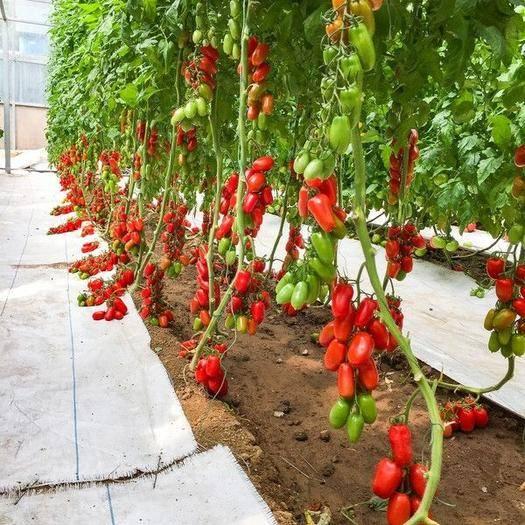 濉溪县 圣女果苗 小番茄 千禧果 椭圆番茄苗 保质保量