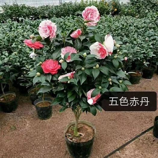 龙岩漳平市 多品种茶花苗,五色赤丹,香妃,红赤丹,黑魔法,情人节等。。