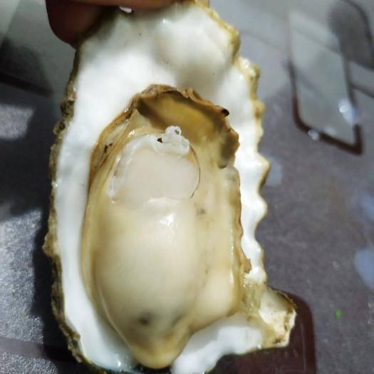 烟台莱州市长牡蛎 海水 1-2两/只 鲜活水产