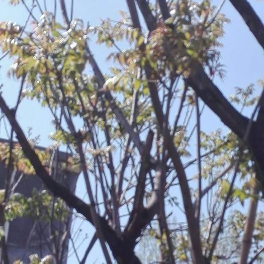 南陽社旗縣 今年的香椿芽,香椿葉