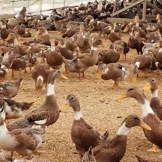 安慶太湖縣蛋鴨 老板在是安慶太湖的,