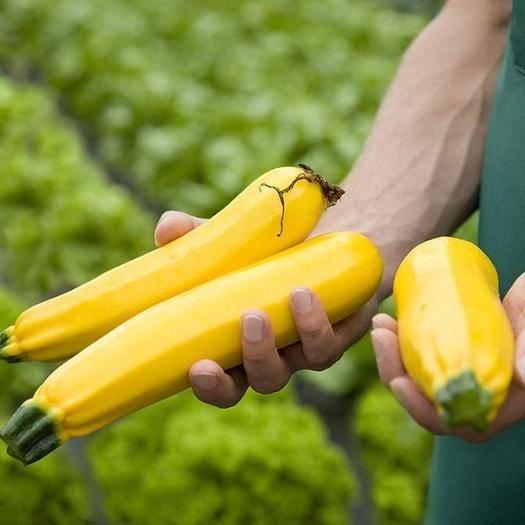乐亭县 进口香蕉西葫芦种子 水果型能生吃 春季四季盆栽