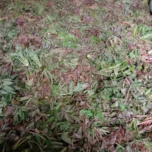商洛山陽縣 秦嶺山野露天頭茬香椿芽,大量供應,量大可談