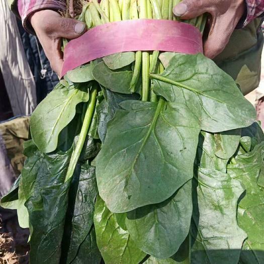 邯郸永年区大叶菠菜 各种蔬菜都大量上市,希望广大客户前来采购,