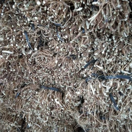 龙岩武平县韭菜根 2019冬季采挖最后余三千多斤石参便宜卖了,每市斤6元全部购