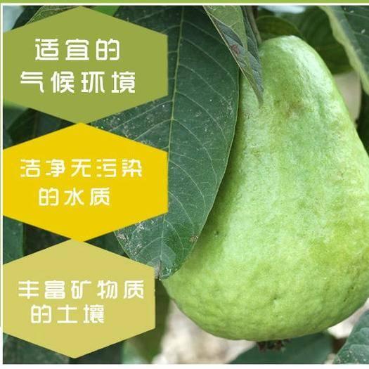 漳浦縣 (5斤裝)福建白心芭樂新鮮番石榴5斤孕婦小孩當季水果包郵